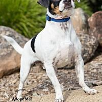 Posted him before, but they updated his listing. Pittsburg, California - Pug. Meet Pete the Pup, a for adoption. https://www.adoptapet.com/pet/19002199-pittsburg-california-pug