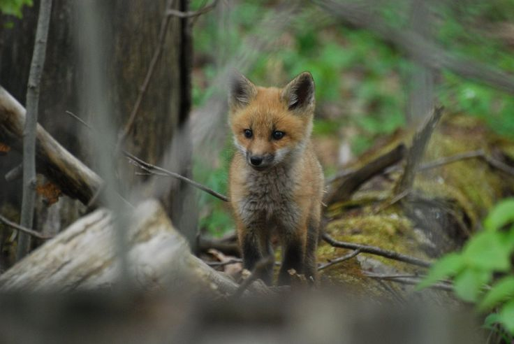 I maj måned er de fleste rævehvalpe omkring 8 uger gamle, og de begynder så småt at lege uden for graven.  Har du set rævehvalpe i år?