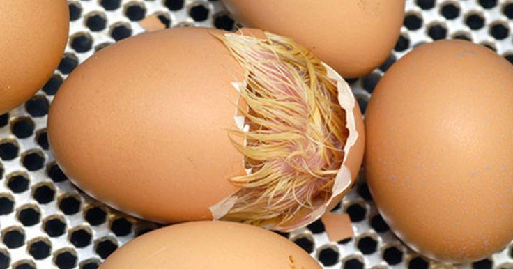 Guia passo-a-passo de como chocar ovos. Se você tiver um galo junto às galinhas, pode recolher os ovos, colocá-los em uma incubadora, e obter pintinhos em algumas semanas. Chocar ovos de qualquer ave irá lhe economizar dinheiro e garantir um experiência educativa para sua família.