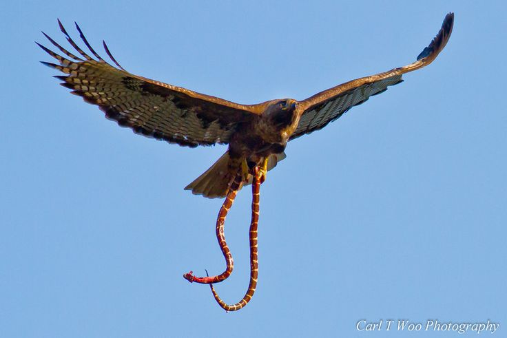 red tailed hawk - Google Search