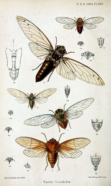 cicada sketches- the one labelled #4 would be the one I want for a tattoo.