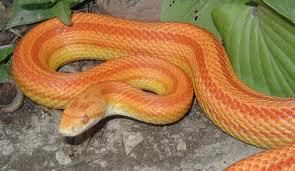 Striped Corn Snake for sale