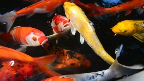 How to Choose the Best Pond Fish for Sale | Tips and Guides