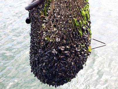De Zeeuwse mosselen zijn bijna volledig op smaak! Nog even geduld... voor je het weet kunnen we weer volop #genieten van de Zeeuwse mosselen.