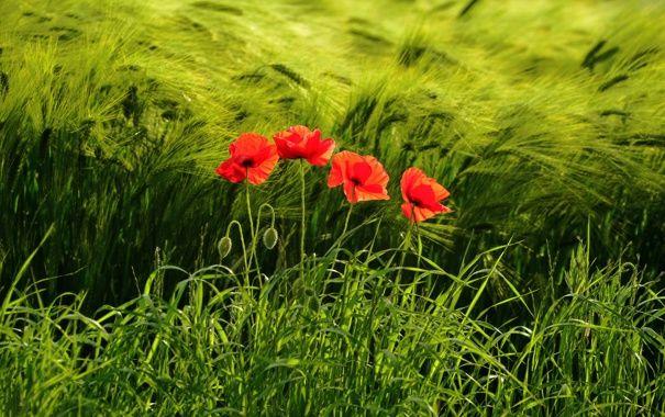 Обои картинки фото поле, колосья, трава, цветы, маки