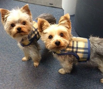 13 best yorkie items images on Pinterest | Dog harness, Lap dogs and
