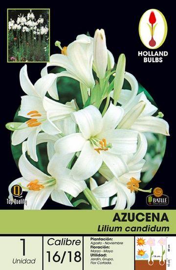 17 mejores im genes sobre bulbos en pinterest plantas y for Azucena plantas jardin
