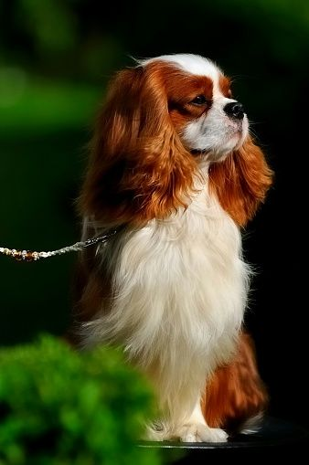 Close-Up Of Cavalier King Charles Spaniel                                                                                                                                                                                 More