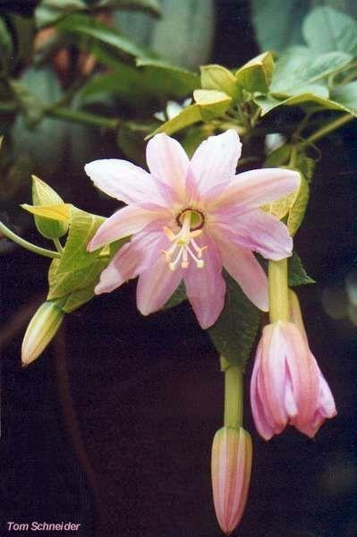 die besten 25 passiflora mollissima ideen auf pinterest. Black Bedroom Furniture Sets. Home Design Ideas