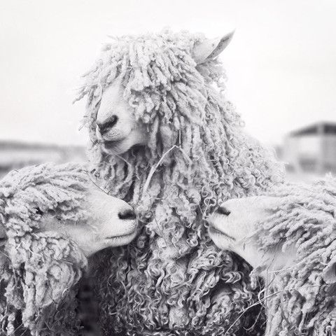 Sheep Art Print - Fine Art Black and White Photography Print by Allison Trentelman. - Rocky Top Studio