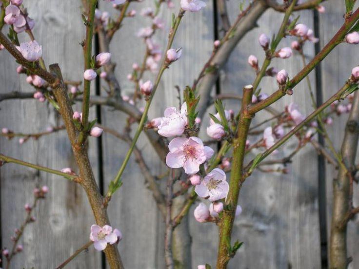 Pfirsichbaum mit Blüten