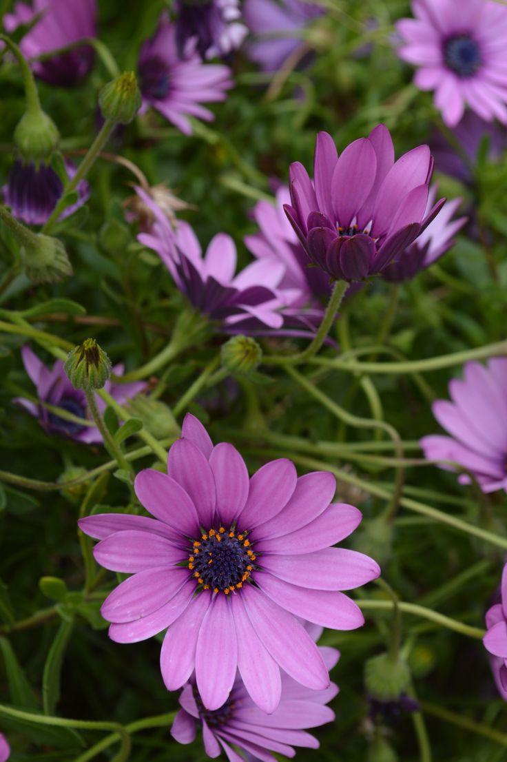 Multitud de flores lila. SCL
