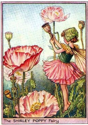 "The ""Shirley Poppy Fairy"" from the Fairies of the Garden by Cicely Mary Barker"