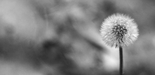 diente de leon | Flickr: Intercambio de fotos