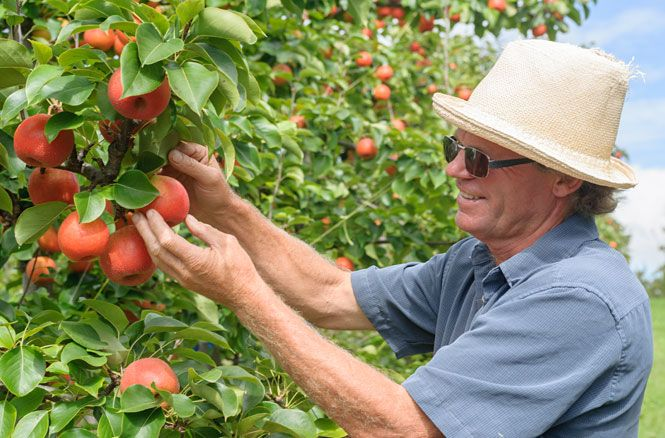 New Pear Varieties Combine Best of East and West GREAT THINGS GROW HERE