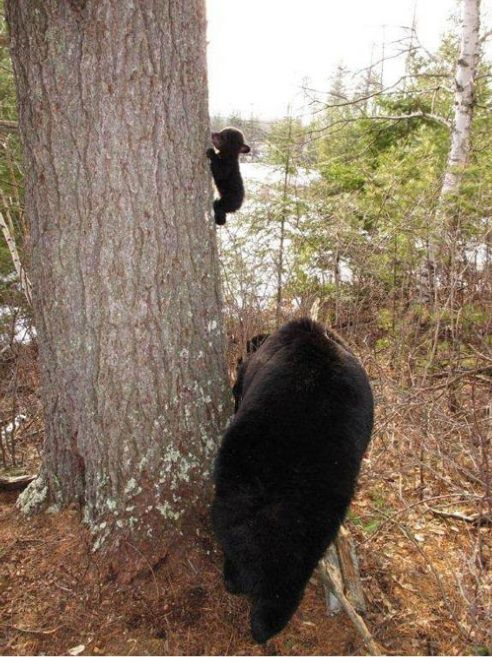Baby bear's first climbing lesson - Favorite thing I have found on the Internet.