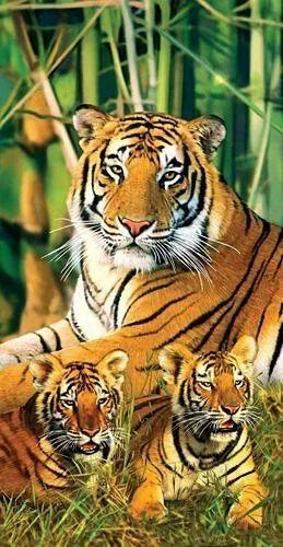 my favourite wild animal tiger essay Tiger essay introduction tiger is a wild animal tiger is a largest  carnivorous mammal animal of the cat family they are largely found.