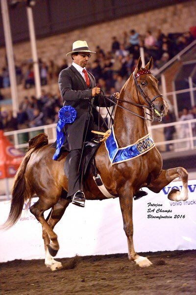 "Saddle Horses SA on Twitter: ""2016 SA Grand Champion Amateur Three Gaited – Anvil's Never Say Never – shown by Attie Koen. https://t.co/bB2gVfKy1Y"""