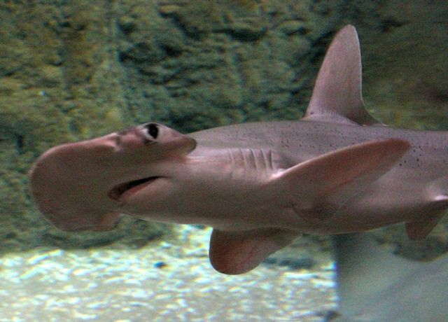Why do hammerhead sharks have a hammerhead? Hammerhead Shark Facts Q & A for Kids! - Cool and Interesting Facts for Kids