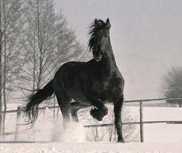 www.katabaraadabart.estranky.cz - Fríský kůň fotečky