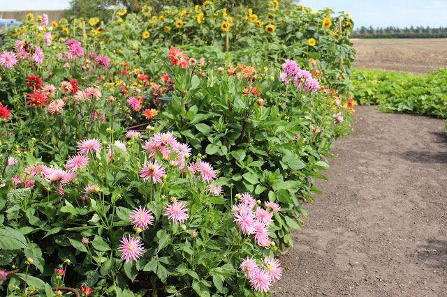 Fru Pedersens have: Hvad skal der sås til sommerens buketter.