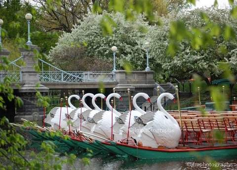 Boston Swan Boats Boston Public Garden If you ever fo to our fair city ride on the Swan Boats