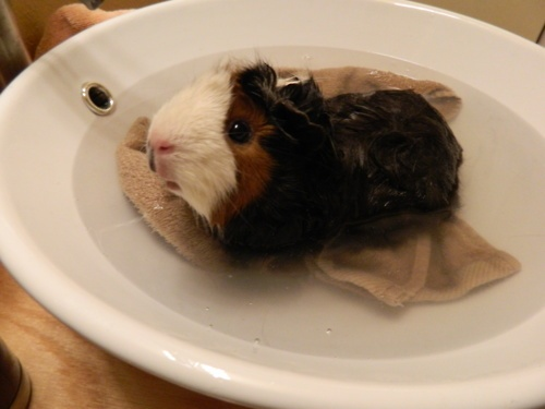 17 Best Images About Guinea Pigs On Pinterest Hamsters