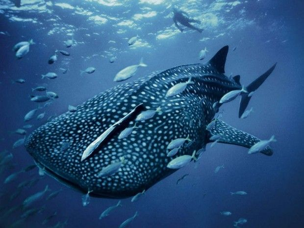 Ningaloo Reef WA - Swim with Whale Sharks