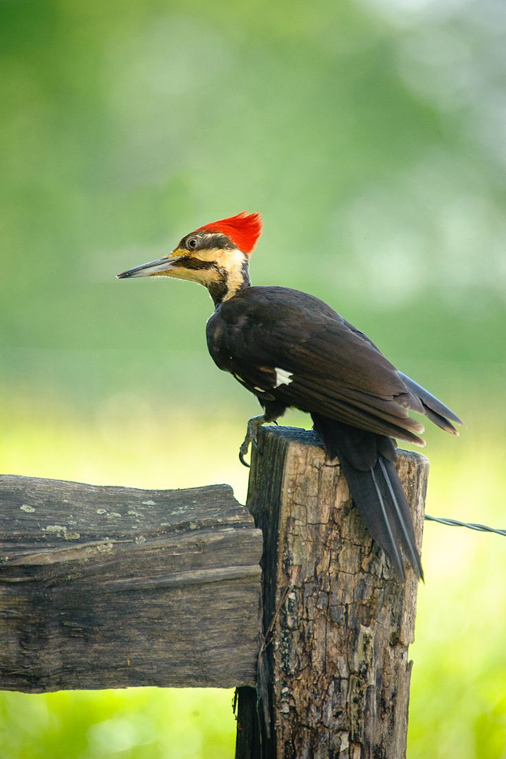 Woodpeckers, Tennessee and Birds on Pinterest