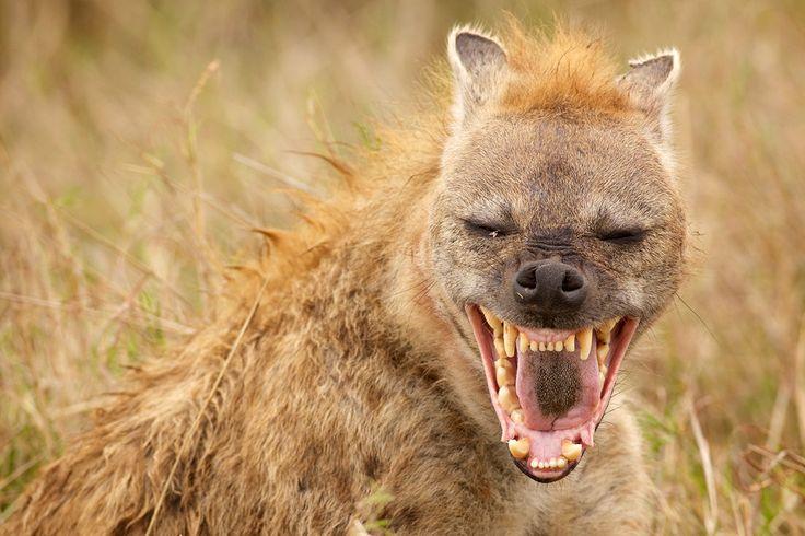 Spotted Hyena; Laughing Hyena; Tiger Wolf; Crocuta Crocuta Stock ...