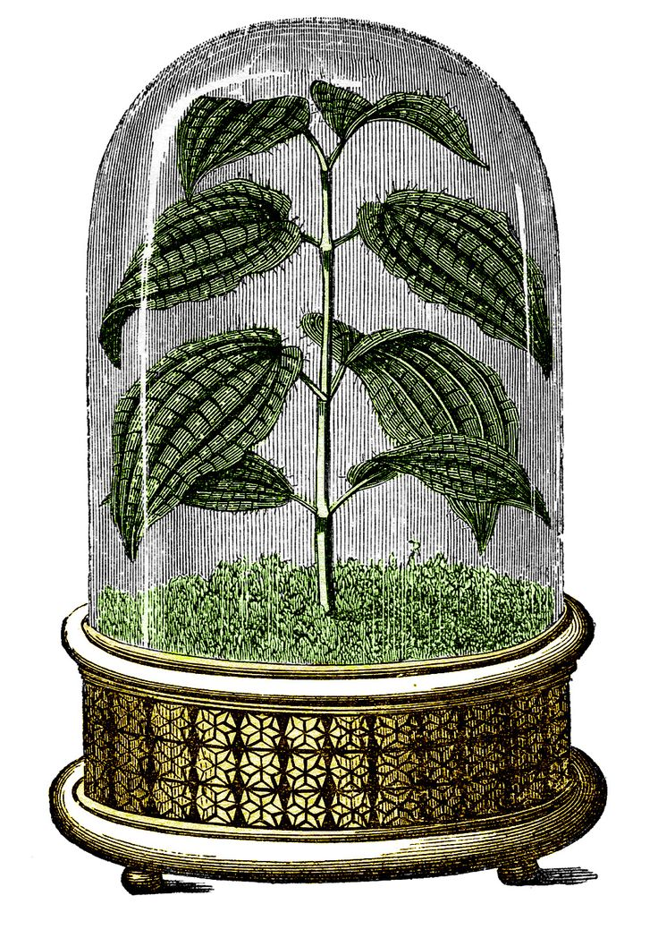 Vintage Images   Amazing Cloche With Plant   The Graphics Fairy Vintage  Image Of A Garden Cloche! From A Botanical Book From