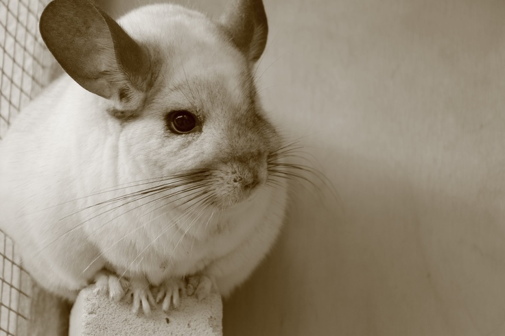 """the chinchilla essay The chinchilla farm was widely praised when it came out in 1989, and has not been out of print since in the nation, pagan kennedy wrote, """" the chinchilla farm is a tremendous coup for a first novel, for any novel."""