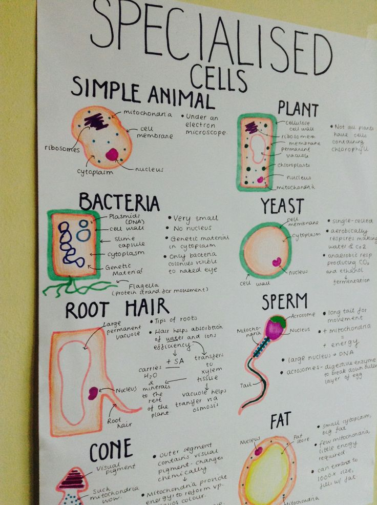 A Level Biology - Specialised cells poster. Canterbury Tuition Centre