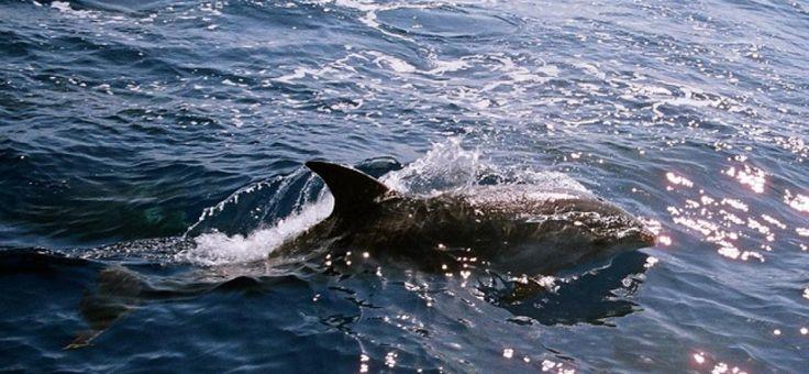 Drama: Gestrandete Delfine auf Mallorca verstorben