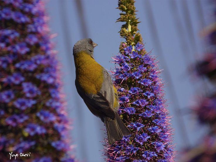 Cometocino en Laguna de Zapallar, V región. Aves de Chile <3
