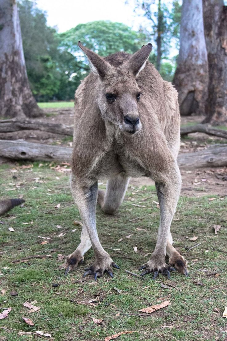 Male kangaroo at Lone Pine Koala Sanctuary