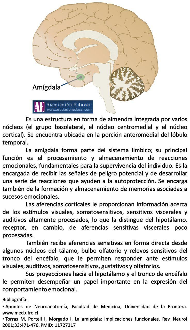 Infografía Neurociencias: Amígdala cerebral. | Asociación Educar