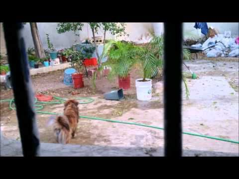 correspondencia audiovisual- en este video les comparto uno de los momentos de diversión de mi perrito Max, me encanta verlo jugar, corre y salta por su pelota, también andamos practicando que la regrese , porque ya que la atrapa no la quiere soltar jajaja ;) Mari Euan Yah @Marieuanyah