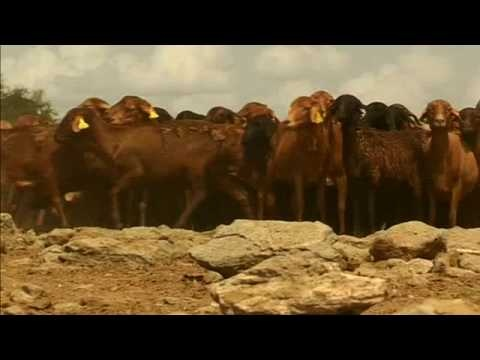 Three Endangered African Livestock Breeds (Length: 1:32) These clips feature the Red Maasai sheep, the Sheko cow and the Ankole cow, which are all hardy livestock breeds indigenous to Africa that are endangered yet could be useful globally as climate change makes environments more extreme.