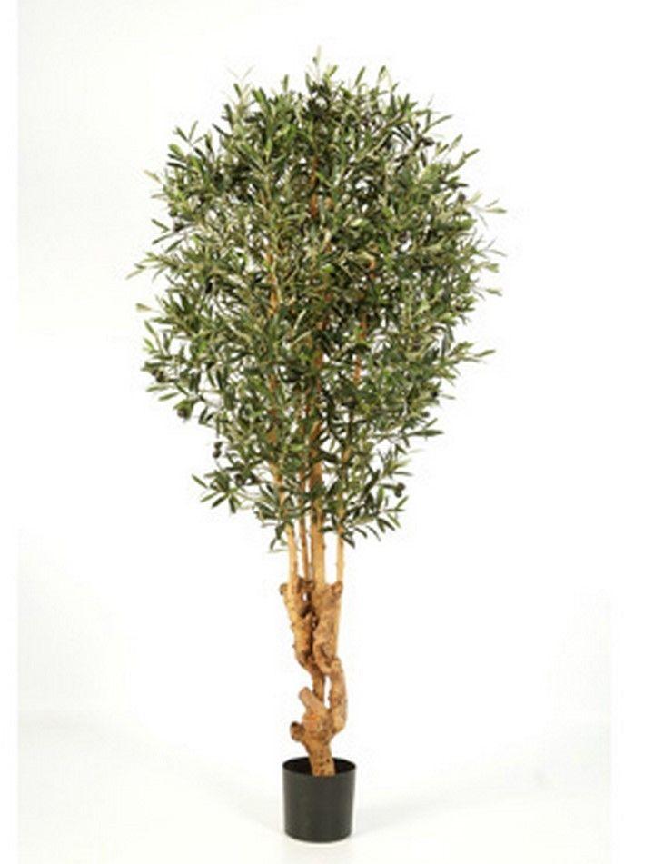 olivenbaum Überwintern wohnzimmer – abomaheber, Wohnzimmer