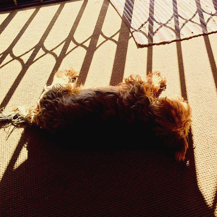 #Yorki #myPet #myDog #Doggie Levi is loving his new home! #winter #sunshine #lazy #snore #woof