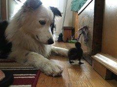 アメリカニュージャージー州にあるファニーファームレスキューという牧場で飼われているわんちゃんがお利口で可愛い もともと捨て犬だったのを牧場主に拾われたのあでそうです 今では牧場の動物達を見守るマネージャー的な存在だそう tags[海外]