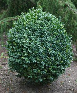 вечнозеленый куст - самшит, декоративное растение для сада