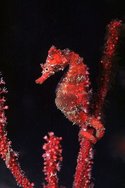 fabulous mimicry in one of my favorite animals in all the world, the sea horse (I'm also crazy about their close relatives the Leafy and Weedy Sea Dragons)