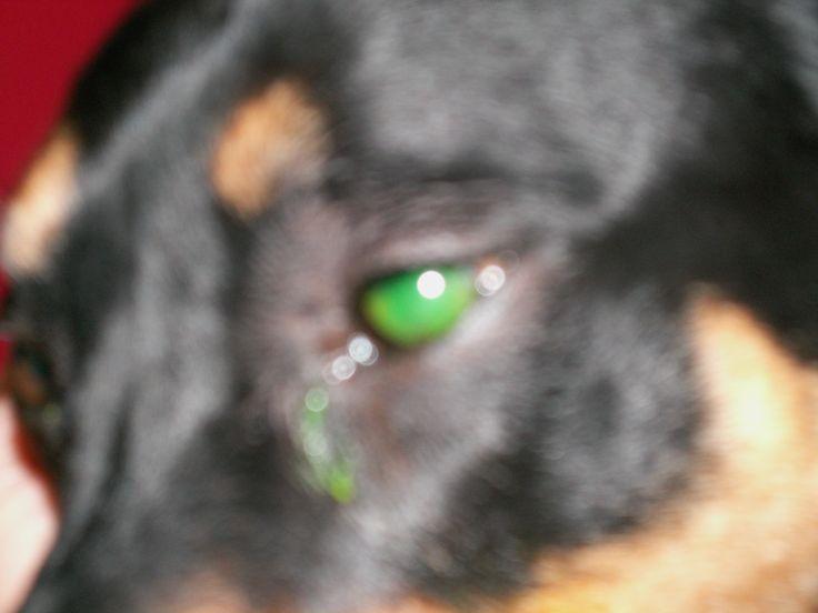 Ivy's Eye Ulcer before Orgonite