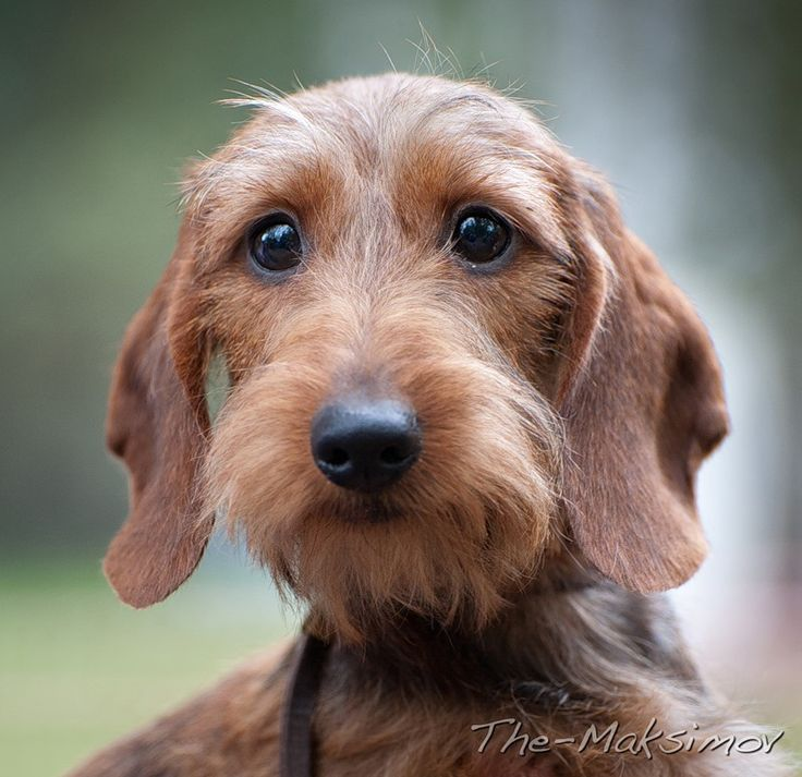 wire haired dachshund --what a gorgeous little creature with soulful eyes! All they want is bacon... :)