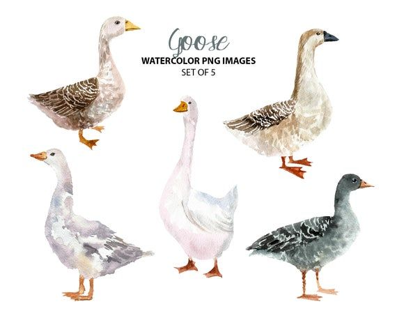 Goose Watercolor Images Farm Animal Clip Art Cute Bird Etsy In 2021 Watercolor Images Animal Clip Art Watercolor Rooster