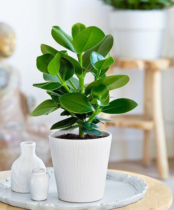 Intenz Home Clusia 'Princess' De Clusia rosea is een aantrekkelijke groene plant voor in de woonkamer! Oorspronkelijk komt deze clusia voor in de Caraïben. De stevige groene bladeren geven uw interieur een prachtige groene aanblik. Het merk Intenz Home levert exclusieve planten met een moderne uitstraling. Stuk voor stuk planten waarmee u zich kunt onderscheiden. Intenz Home staat voor vernieuwing exclusiviteit en planten met karakter. De plant is robuust en kan goed tegen een stootje! De…