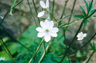 Anemone rivularis (Riverside Windflower) | Height: 0.5-1m Spread 01.-0.5m