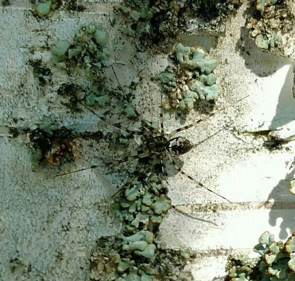 Spider and birch